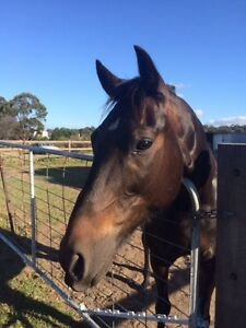 Beautiful black/brown Standardbred Yanderra Wollondilly Area Preview