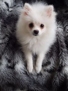 Pomeranian Puppies available $1300 and up