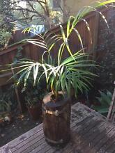 Stunning Golden Cane Palm in rustic planter Berowra Heights Hornsby Area Preview