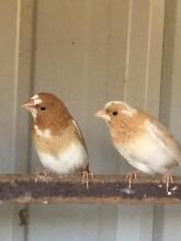 Bengalese Finches for sale Wheelers Hill Monash Area Preview