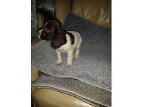 Cocoa spaniel puppy