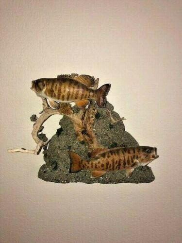 Beautiful Smallmouth Bass Skin Mount Fish Taxidermy in Natural Artistic Setting