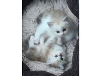 Pedigree Ragamuffin Kittens