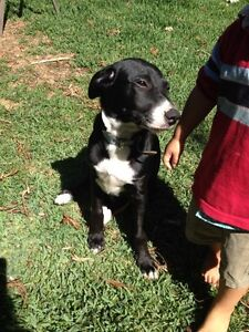 Gorgeous Mix Breed Puppy for Sale - 13 weeks Bassendean Bassendean Area Preview
