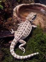 Female bearded dragon hatchlings only 4 out of 17 left