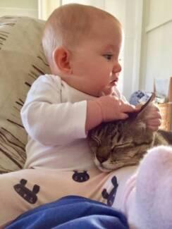 AUSTRALIAN MIST TEENAGE CATS - PEDIGREE VERY LOVING, CUDDLY SWEET