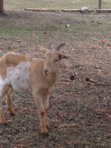 Super Friendly Goat For Sale!!!!!
