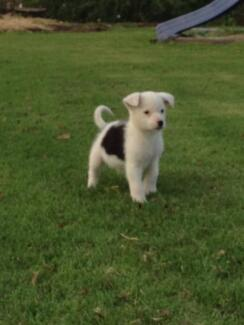 Border Collie X Pups for Sale Bowenville Toowoomba Surrounds Preview