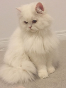 [**SOLD**] Beautiful white female persian cat