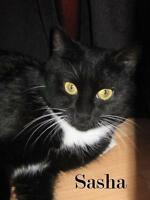 Young Female  - Domestic Short Hair-black and white-Tuxedo