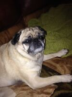 purebred PUG needs another good home