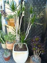 Large Potted Plants x 3 in Glazed Pots Bentley Canning Area Preview