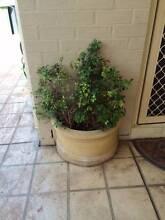 Half circle pot plant Glenmore Park Penrith Area Preview