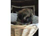 Stunning Lhasa Apso puppies - available now (Yorkshire). Stunning pedigree Lhasa puppies