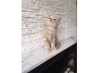 British shorthair pedigree beatifull cream boys