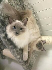 ×2 ragdoll cats. 1 year old.