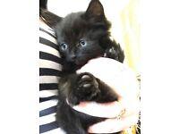 Rag doll x last female kitten