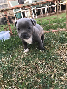 Blue staffy puppys Kerang Gannawarra Area Preview