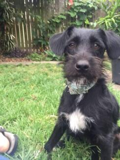 Affectionate Playful 6 month old Foxie Cross