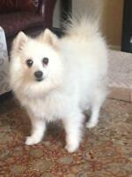"Senior Male Dog - American Eskimo Dog: ""Stevie"""