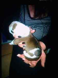 12 week old puppy URGENT! Edgeworth Lake Macquarie Area Preview