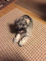 CKC Registered Miniature Schnauzer Puppy