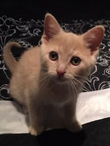 "Baby Male Cat - Domestic Short Hair: ""Marshal"""
