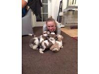 Shichon puppies ( teddy bear puppies )