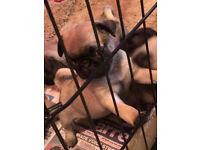 Pug Puppys, girls and boys