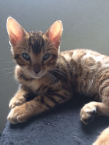 TICA registered  baby BENGALS ready now