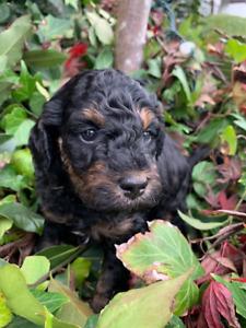 Adorable Miniature Poodle Puppies For Sale