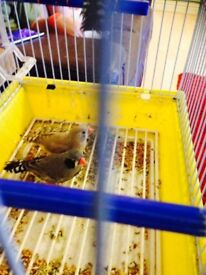 pair of young zebra finches