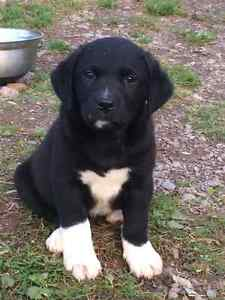 Cape Shore Water Dog Puppies 1 Ready now and 4 males ready Oct 9