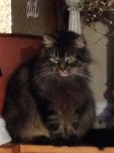 Free to a good home - fancy cat - female