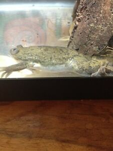 Brown Adult Large Female African Clawed Frog +Accessories!