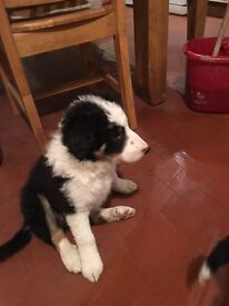 2 Beautiful Border Collie Puppies 9 weeks old