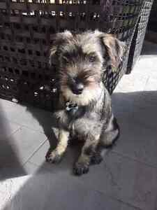 Purebred Standard Schnauzer - Looking for a home