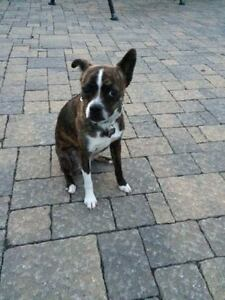 Chesley is a 1 year old boston terrier/toy size australian sheph