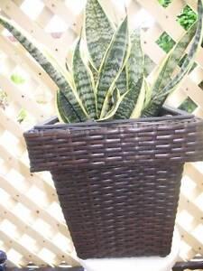 Sanseveira in Black Wicker Pot Thornlie Gosnells Area Preview