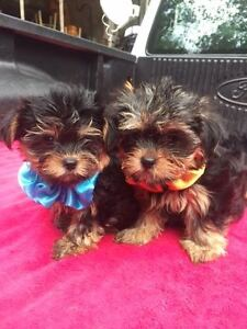 I have 4 female Yorkie Pups