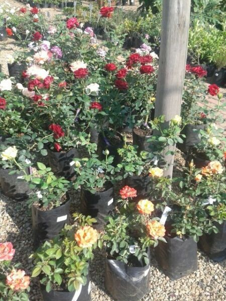 Rose bushes and standards