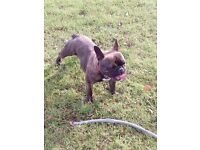 French Bulldog - 13 month old female