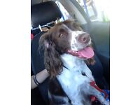 English springer spaniel looking for a loving home.