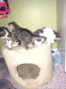 Super cute kittens almost ready for rehoming!! Edmonton Edmonton Area image 5