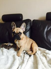 French bulldog girl