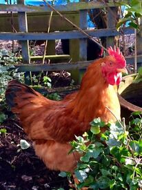 Beautiful good tempered cockerel, free to good home