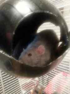 Deux rats avec grande cage, nourriture et accessoires à adopter