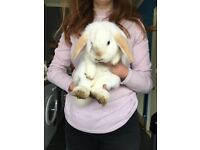 5 Month Old, Pure Breed, Male, Mini Lop, For sale.