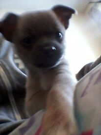 Chihuahua*jack russel puppy cheap