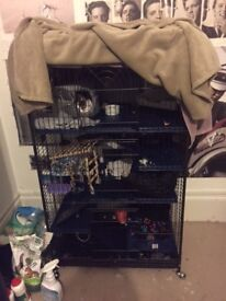Two young rats for rehoming, cage, accsessories & food